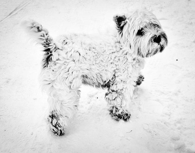 Kardan köpek