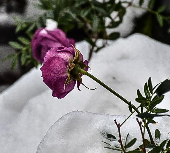 Kar gülleri
